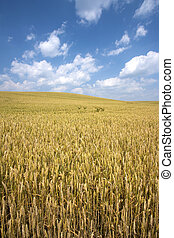 Field of wheat - Agriculture. A wheat field almost ready for...