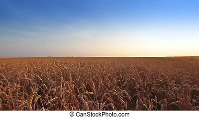 Wheat Field - Panorama of wheat field