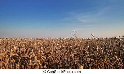 Wheat Field - Linear moving near whead field