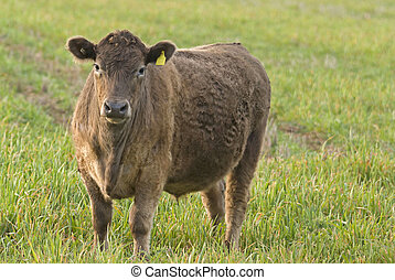 mammal - a lone cow in a lush grass pasture close-up