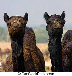 Camel at the Pushkar Fair , India - Camel at the Pushkar...