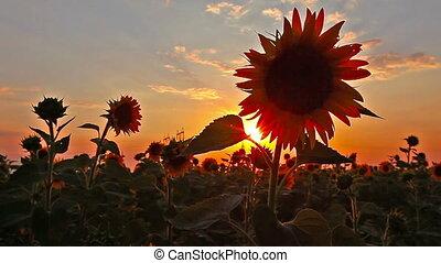 flowering sunflowers