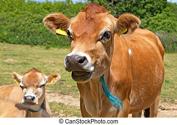 Close up head shot of a Jersey Cow - Close up head shot of a...