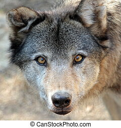Grey wolf portrait - Grey wolf canis lupus portrait from up...