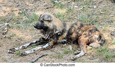 Wild dog lycaon pictus resting - The nearly extinct, highly...