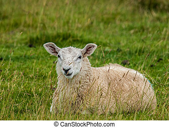 Sheep In Summer Pasture