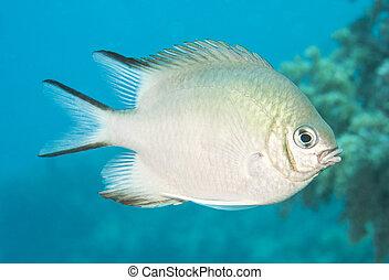 Pale damselfish swimming in blue water - Pale damselfish...