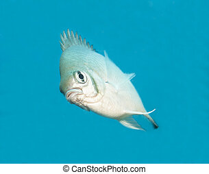 Pale damselfish swimming in blue water - Pale damselfish...