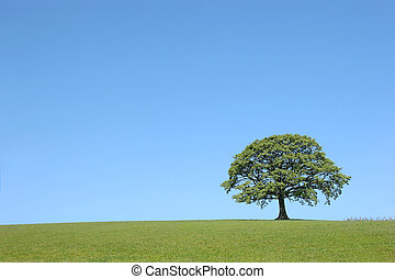 Oak Tree Beauty - Oak tree in full leaf in summer in a field...