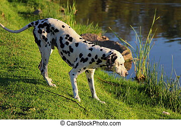 Curious Dalmation Explores the Waters Edge 1 - Curious...