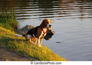 Curious Beagle Staring Into Water