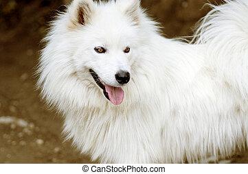 White dog portrait