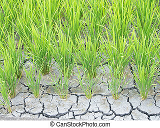 paddy cracked for water shortage - This is a photo of paddy...