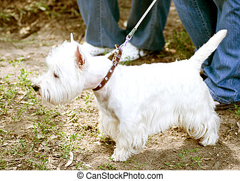 White dog on a leash
