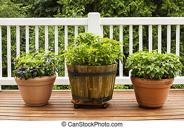 Home Herb Garden containing Large Flat Leaf Basil Plants -...