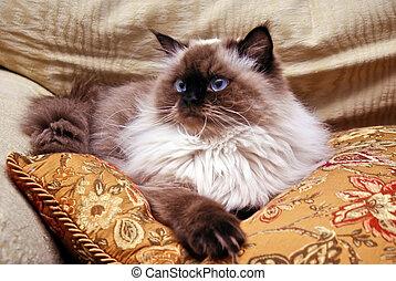 Himalayan Cat - Persian Himalayan Cat laying on gold pillow...