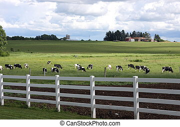 holstein dairy farm - holstein dairy herd in a pasture on a...