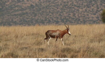 Blesbok antelopes walking - Blesbok antelopes (Damaliscus...