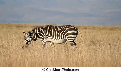 Cape Mountain Zebra (Equus zebra) walking in grassland,...