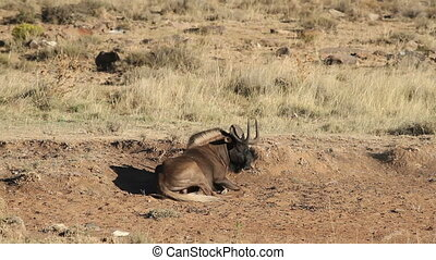 Black wildebeest - Dominant black wildebeest (Connochaetes...