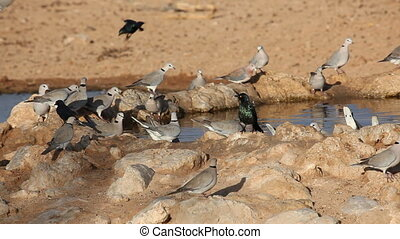 Cape turtle doves Streptopelia capicola drinking water,...