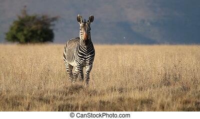 Cape Mountain Zebra (Equus zebra) standing in grassland,...