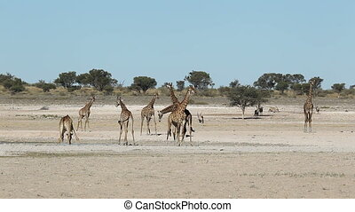 Giraffes at waterhole - Giraffes and gemsbok antelopes...