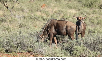 Feeding blue wildebeest - Blue wildebeest Connochaetes...