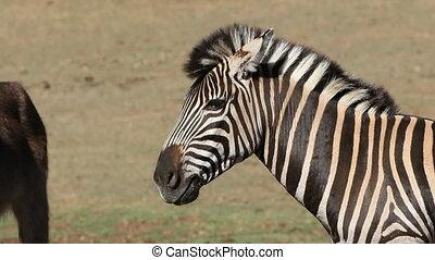 Plains Zebra - Portrait of a plains (Burchells) Zebra (Equus...