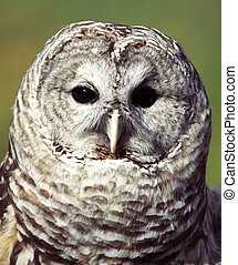 Owl - Grey owl Strix nebulosa portrait lateral