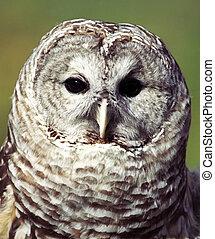Owl - Grey owl Strix nebulosa portrait lateral