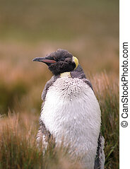 King penguin chick in the grass