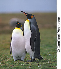 Two king penguins in the grass area in summer day Falkland...