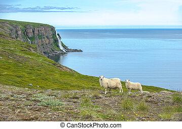 sheep, Islandés