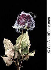 Withered rose with web and spider - Withered rose covered...