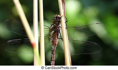 Autumn Hawker - macro - Autumn Hawker - Aeshna mixta in a...