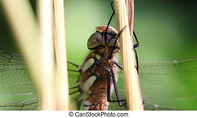 Autumn Hawker - super macro - Autumn Hawker - Aeshna mixta...