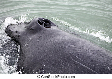 Tail fin of the mighty humpback whale Megaptera novaeangliae...