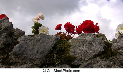 Begonia flowers on the stone wall