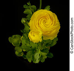 yellow persian buttercup - a yellow ranunculus asiaticus...