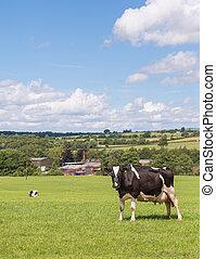 holstein cow in field - holstein milk cow standing in summer...