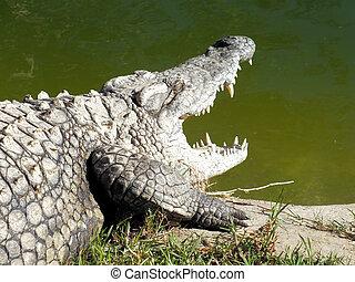 Nile Crocodile (Crocodylus niloticus) - The Nile Crocodile...