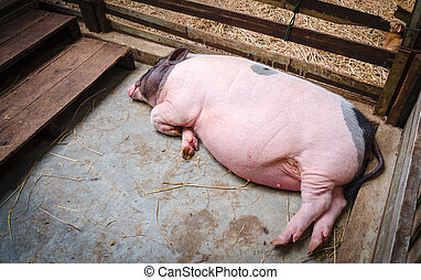 Sleeping pig in pen