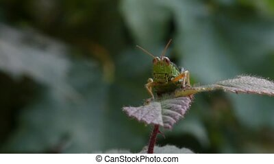 grasshopper on a leaf