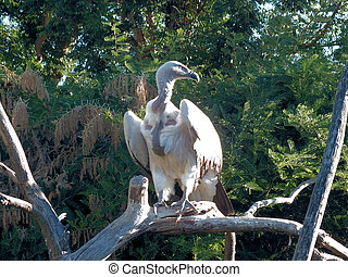Cape Vulture - The Cape Vulture Gyps coprotheres is endemic...