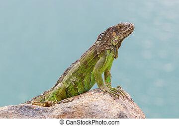 Green Iguana (Iguana iguana) sitting on rocks at the...