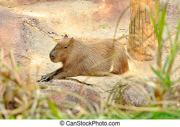capybara - The capybara is the largest rodent
