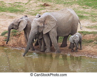 Elephant family at a waterhole - A family of African...