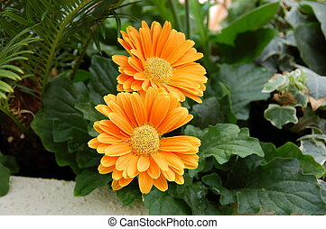 golden daisy - bright orange yellow daisies and green leaves...