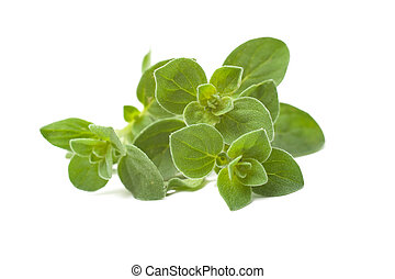 Oregano - Twig of oregano on a white background